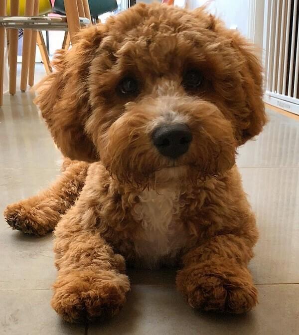 Teddy Bear Hair Cut