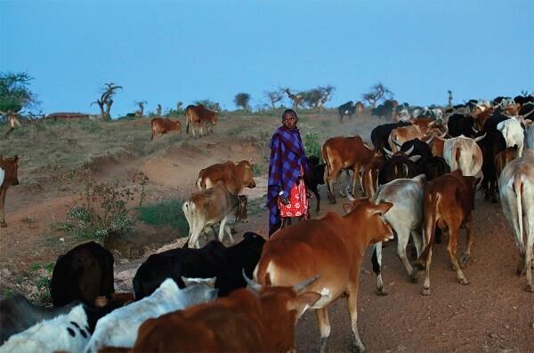 kenya masai donates 14 cows