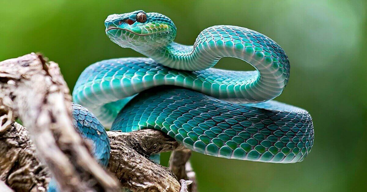 most venomous snake in the world