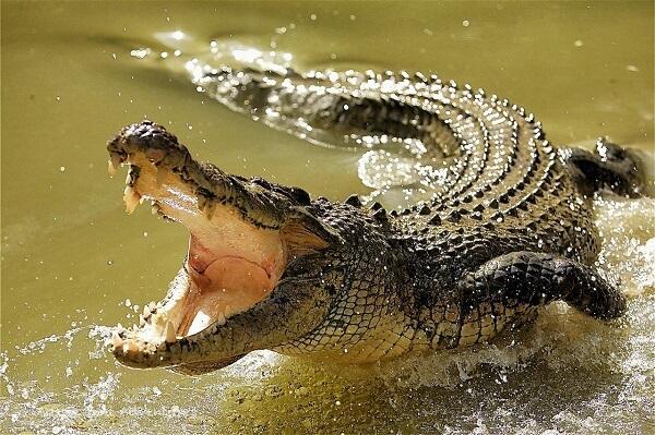 Crocodiles cannot chew
