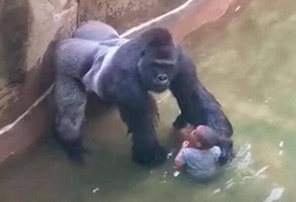 encounter with a gorilla