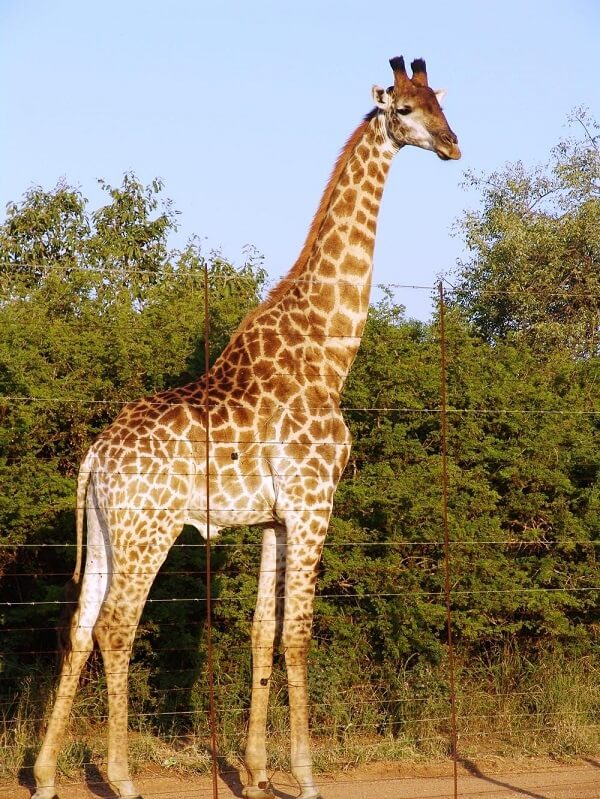 Can a giraffe's tall height be compared to a 2-story house