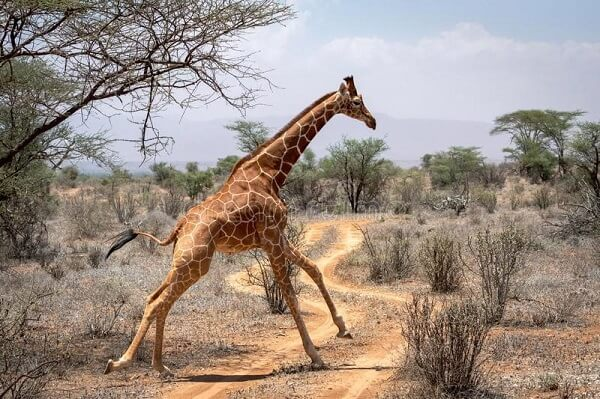 Can giraffes run for more than 30 miles every hour