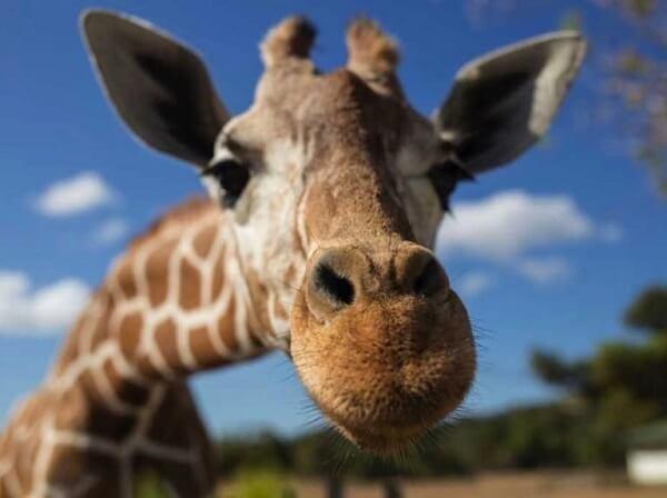 Do giraffe's necks grow with time