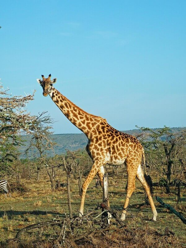 Giraffe Fun Facts