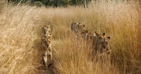 Lion march