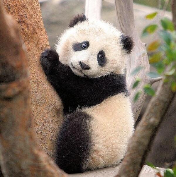 Clumsy Baby Pandas