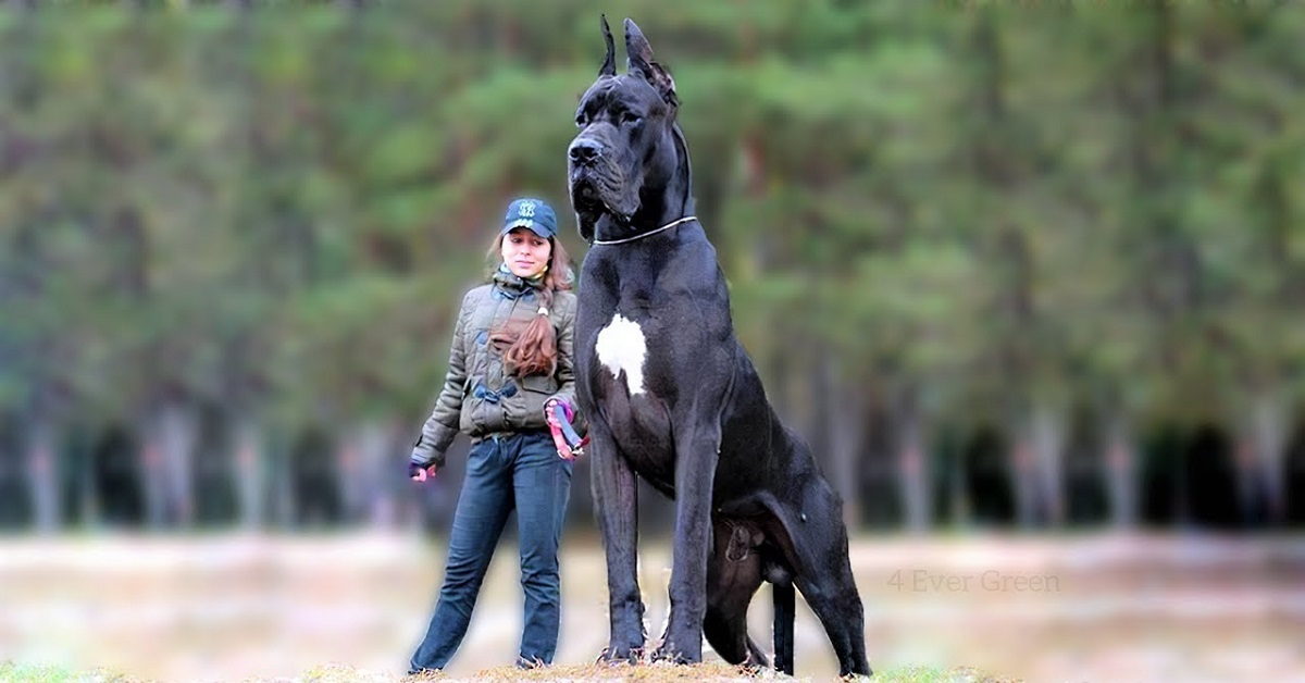 Pictures of the largest dog in the world