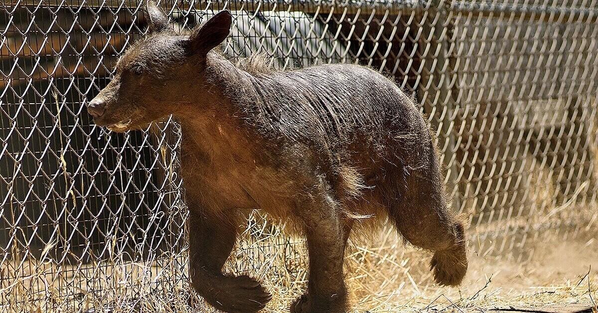 hairless bear (1)