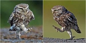 just an owl
