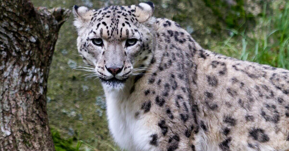 why do snow leopards bite their tails