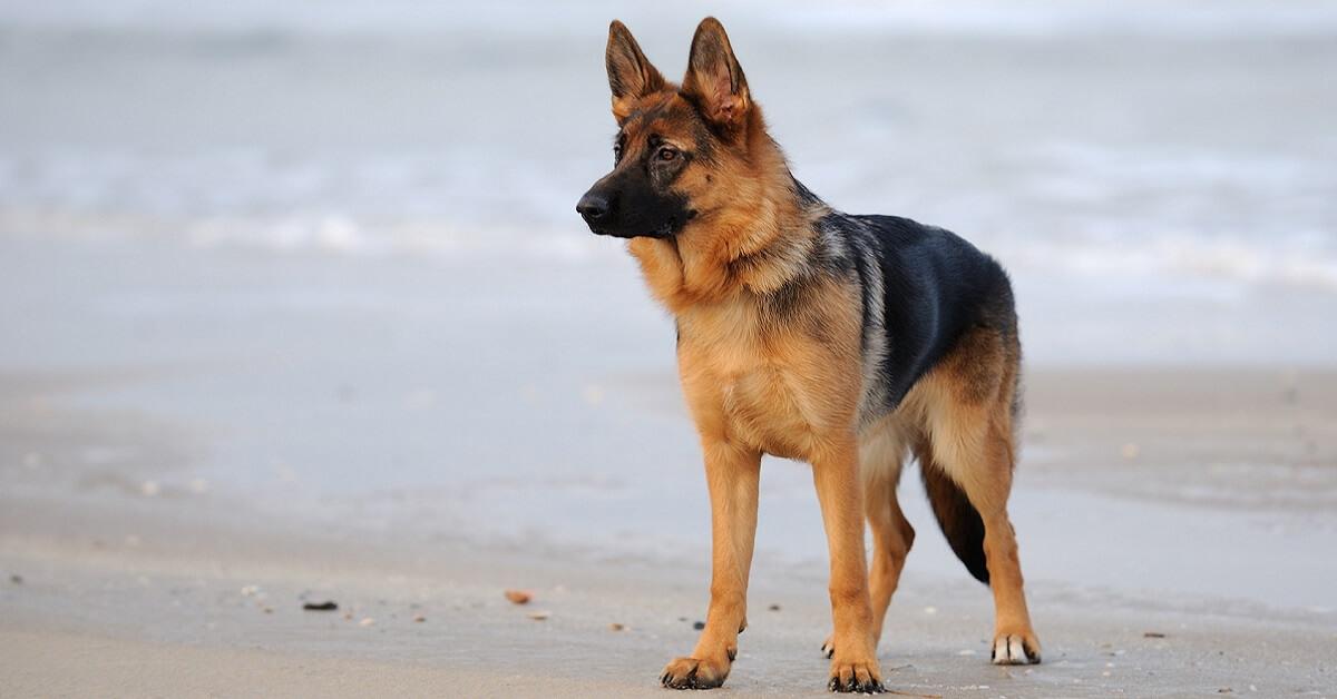 german shepherd fails service dog test