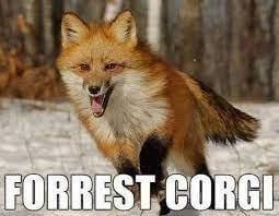 forest corgi