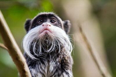 Bearded tamarin monkey