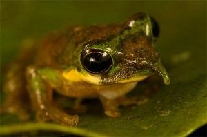 Pinocchio Frog – Australian Tree Frogs