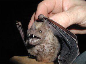 White–Shouldered Bat