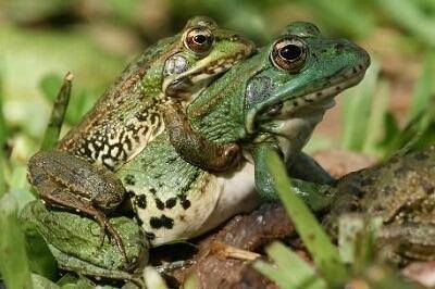 frogsmate