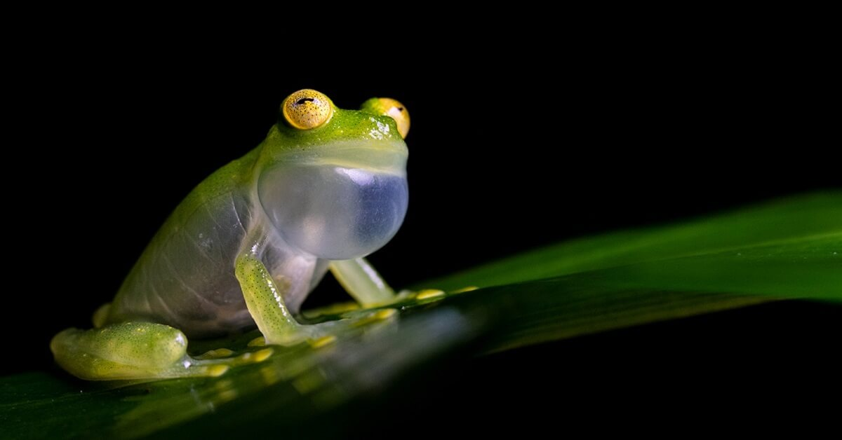 why do frogs croak at night